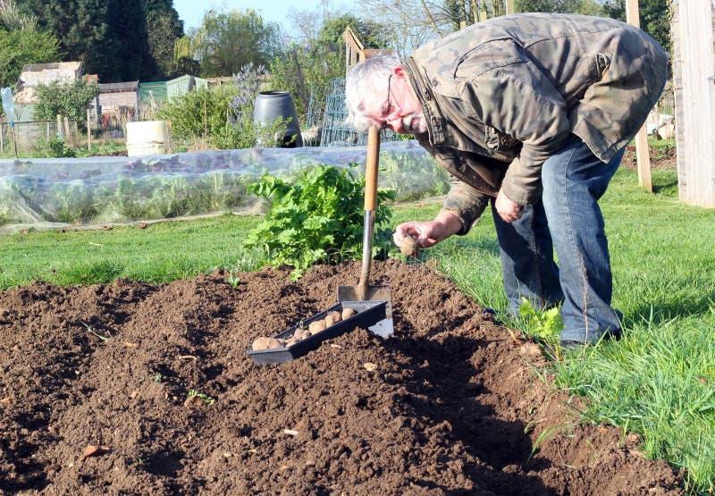 Hombre mayor que planta las patatas en el jardín imagen de archivo