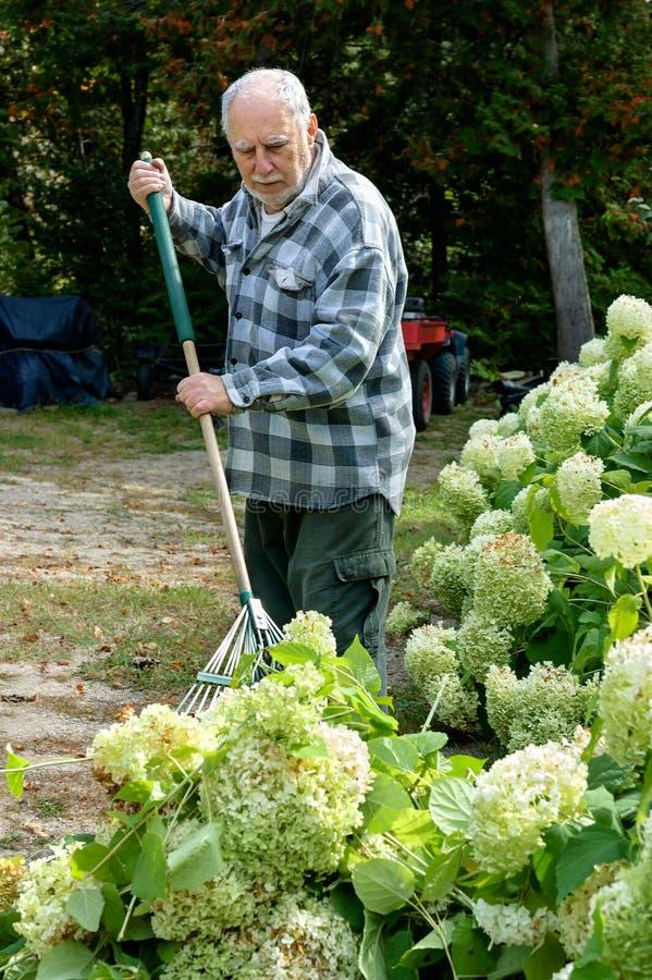 Hombre mayor que rastrilla la hierba fotografía de archivo libre de regalías