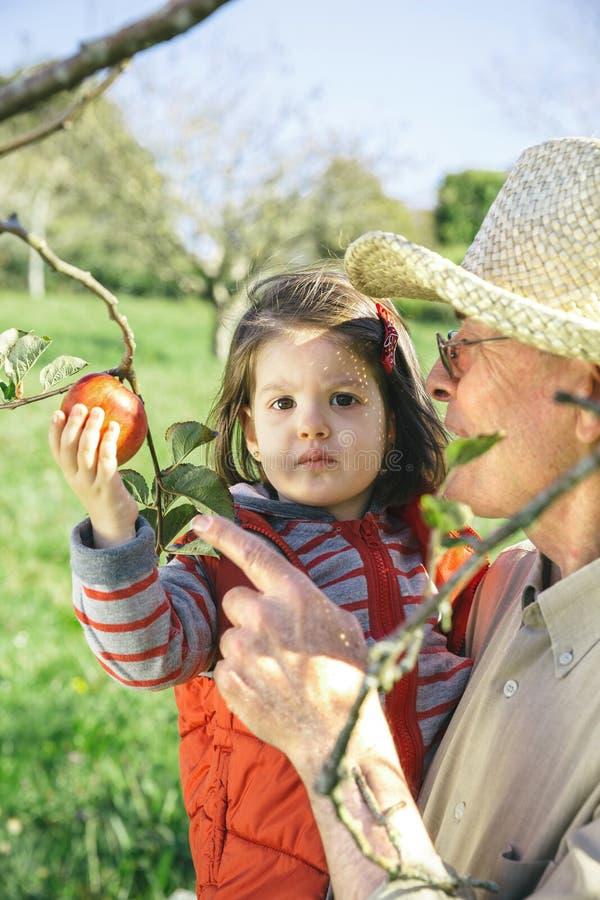 Hombre mayor que sostiene manzanas adorables de la cosecha de la niña foto de archivo