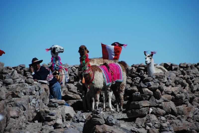 Hombre peruano de la indigencia con los lamas fotos de archivo