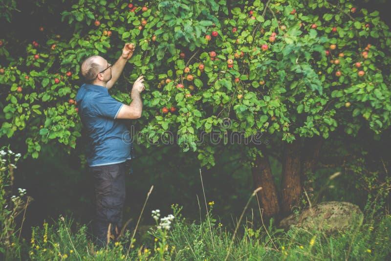 Hombre que coge manzanas salvajes en bosque foto de archivo
