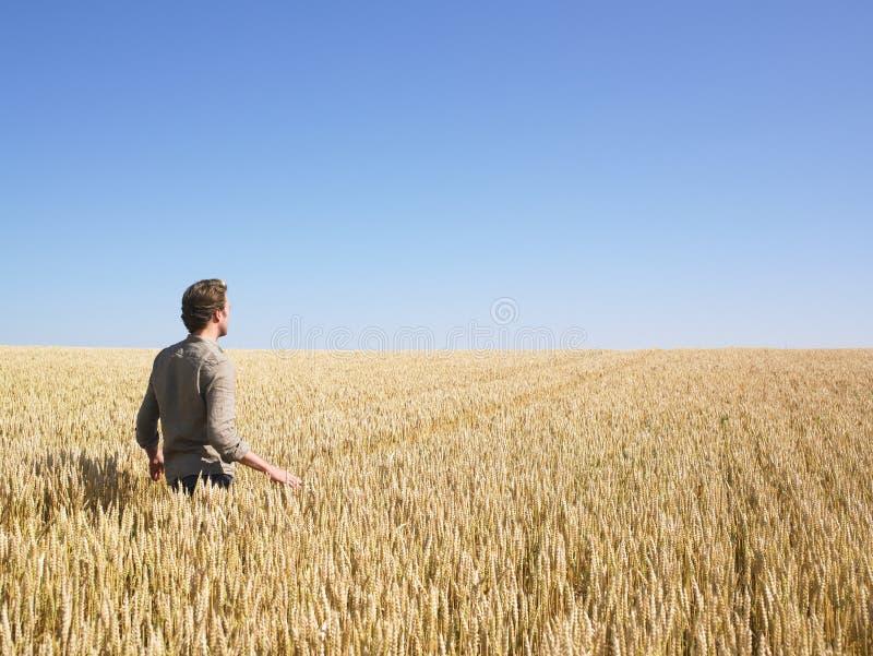 Hombre que recorre en campo de trigo fotos de archivo