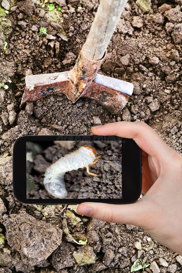 Hombre que toma la foto de la oruga del abejorro fotos de archivo libres de regalías