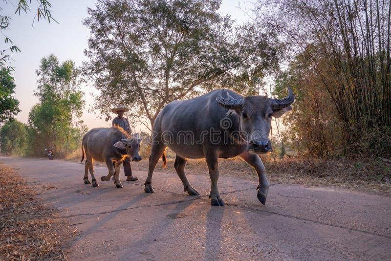 hombre que toma a un grupo de familia de la vaca que camina a casa despu?s del trabajo por la tarde, Tailandia: 2018 foto de archivo