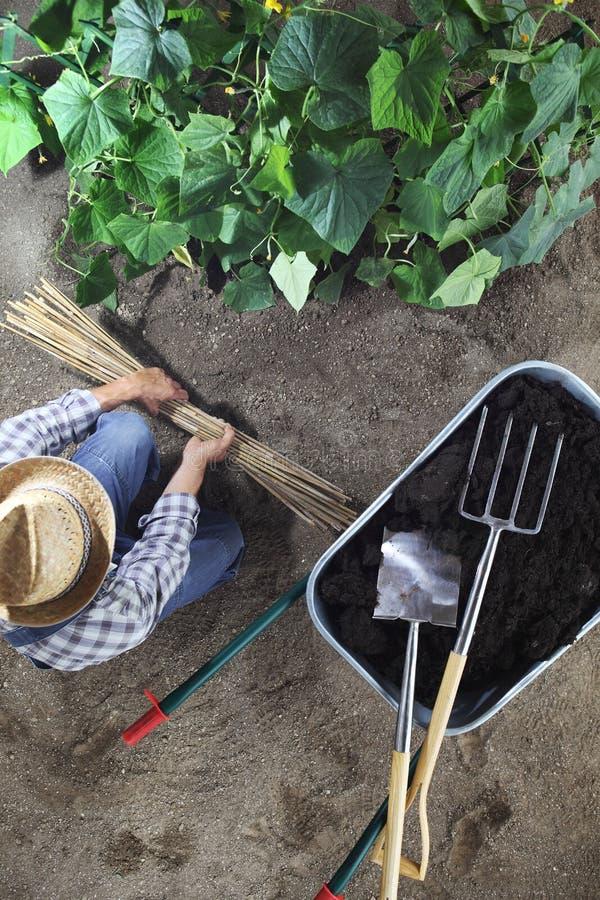 Hombre que trabaja en huerto con los palillos de bambú para el lazo las plantas cerca de la carretilla por completo del fertiliza foto de archivo