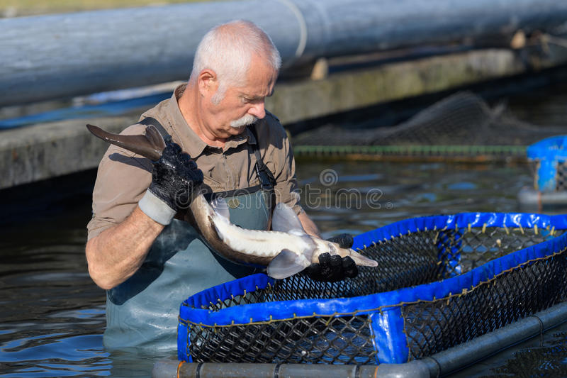 Hombre que trabaja en la granja de pescados imagen de archivo libre de regalías