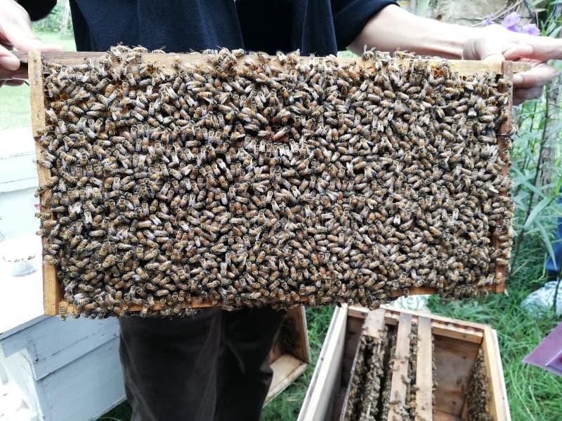 hombre sostiene un peine artificial con abejas obreras, marco de madera fotos de archivo libres de regalías