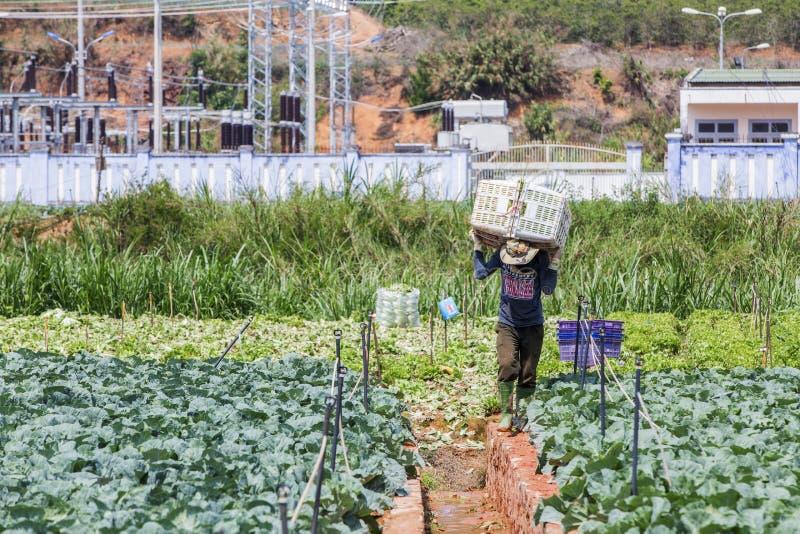 Hombre vietnamita que trabaja en campo de las verduras imagenes de archivo