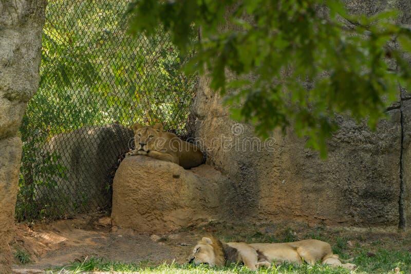 Hombre y leones africanos femeninos - Panthera leo fotos de archivo libres de regalías