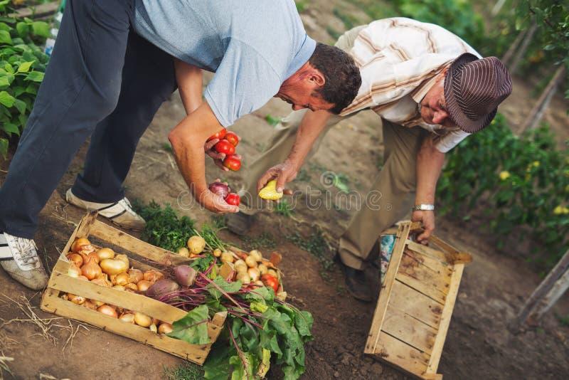 Hombres con el cajón de producto agrícola fresco orgánico imagen de archivo libre de regalías
