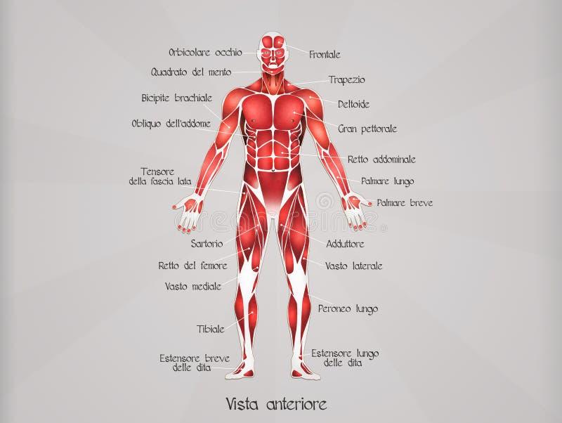Hombres del músculo libre illustration