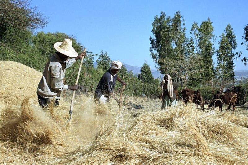 Hombres etíopes que trillan el grano cosechado fotografía de archivo libre de regalías