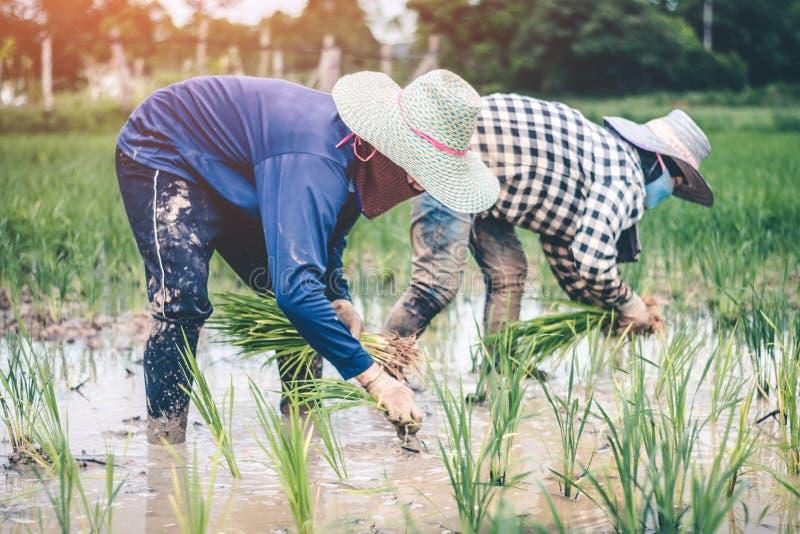 Hombres que son arroz de los almácigos del arroz del trasplante en Tailandia imagen de archivo libre de regalías