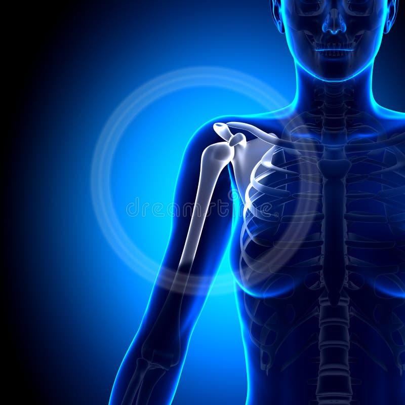 Hombro/omóplato/clavícula femeninos - huesos de la anatomía stock de ilustración