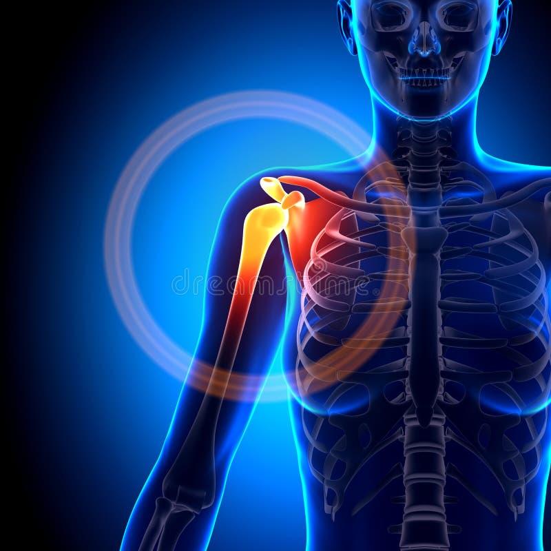 Hombro/omóplato/clavícula Femeninos - Huesos De La Anatomía Stock de ...