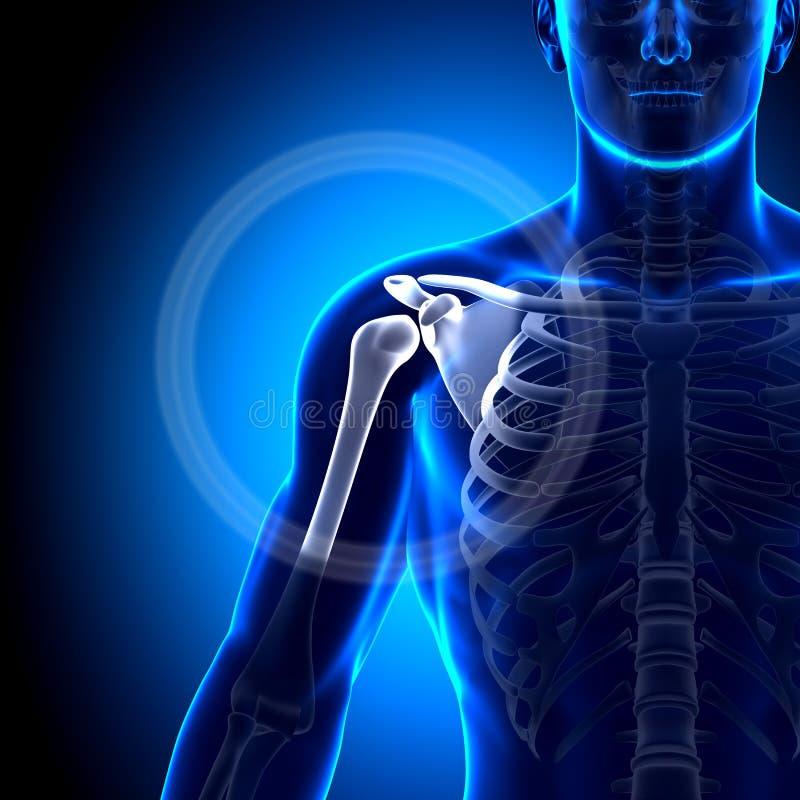 Hombro/omóplato/clavícula - huesos de la anatomía stock de ilustración