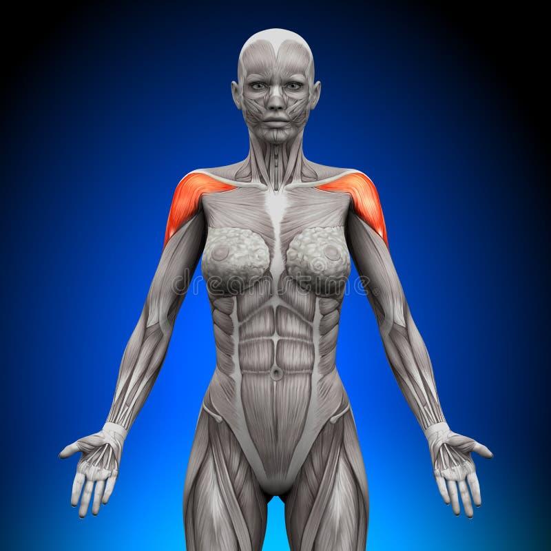 Hombros/deltoideo - anatomía femenina libre illustration