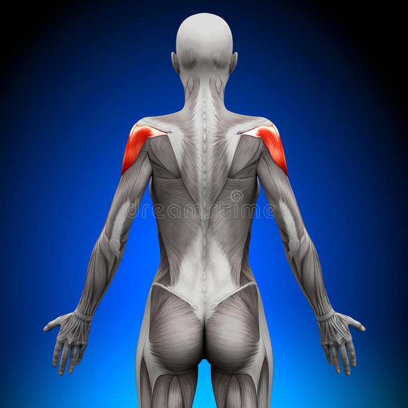 Hombros - músculos femeninos de la anatomía stock de ilustración