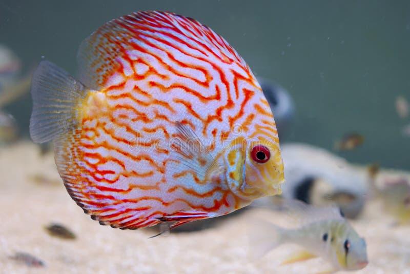 Download Home aquarium stock image. Image of colored, pets, amazon - 26049315