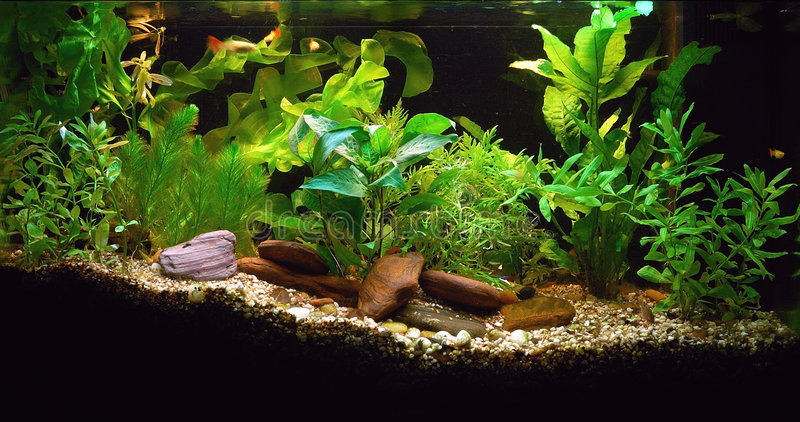 Home Aquarium. Planted home fish tank with rocks