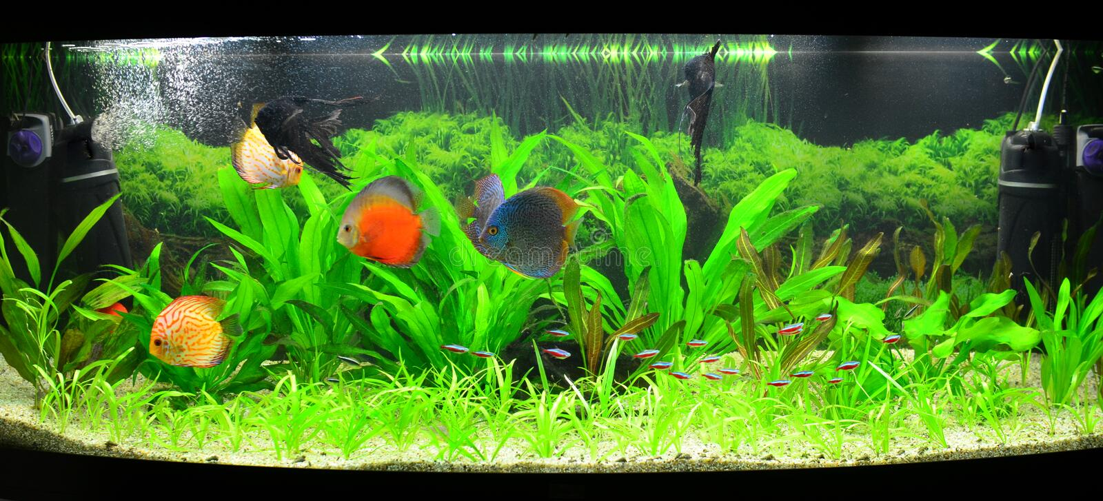 Home aquarium with discus fish and plants stock photo Beautiful aquariums for home