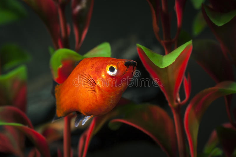 Home aquarium fish stock image