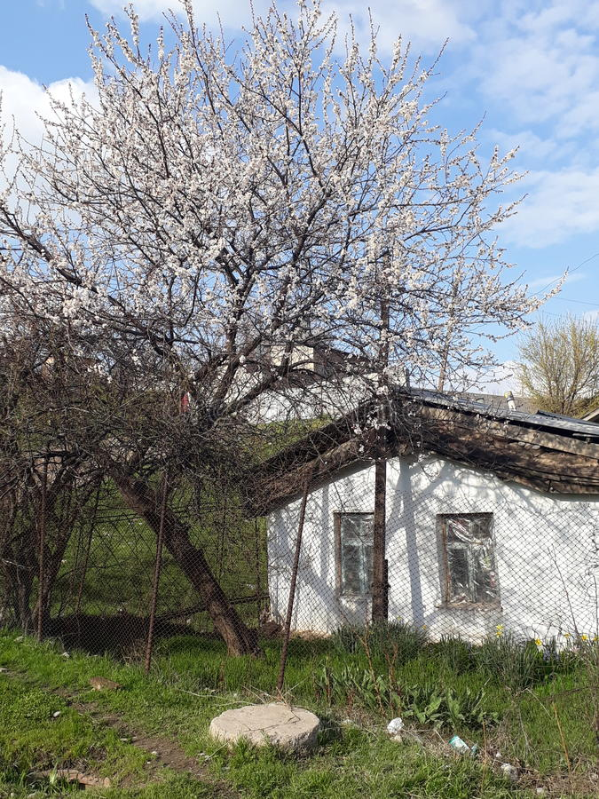 Home and blooms tree apricot. Spring home blooms tree apricot are poor royalty free stock photos