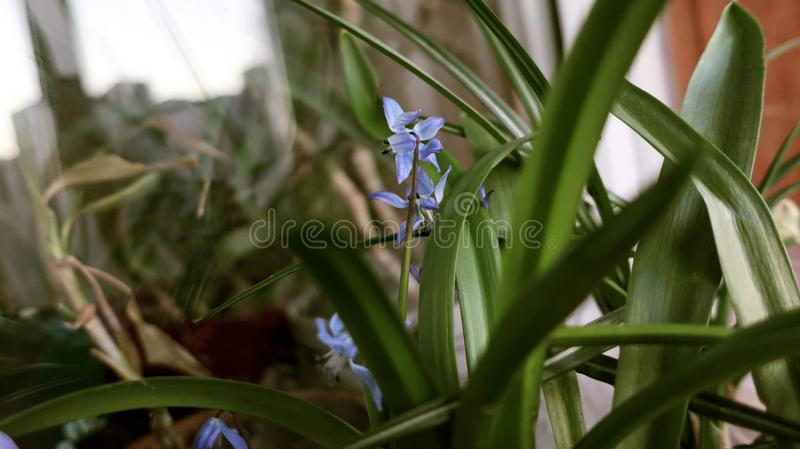 Home blue flowers plants. Home blue  flowers with green leaves royalty free stock images