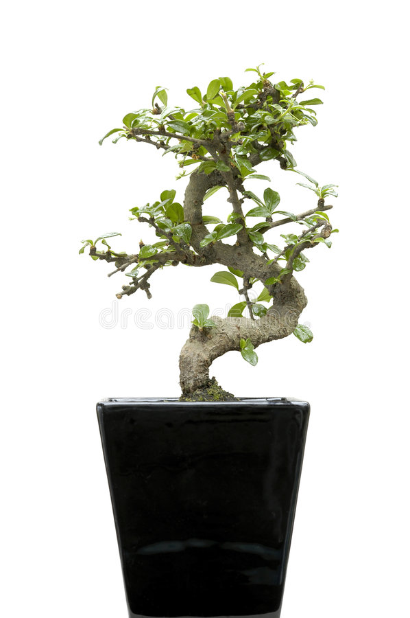 Home Bonsai On White Royalty Free Stock Images