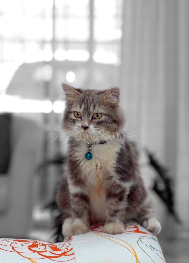 Home Cat Royalty Free Stock Photo