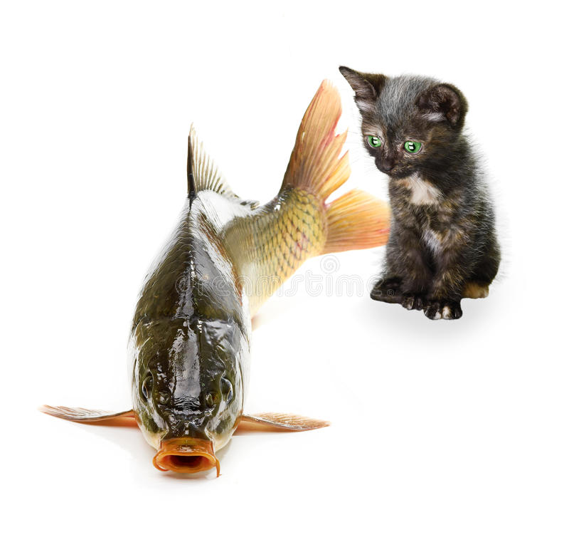 Download Home cat and a carp stock image. Image of friendship - 26660259