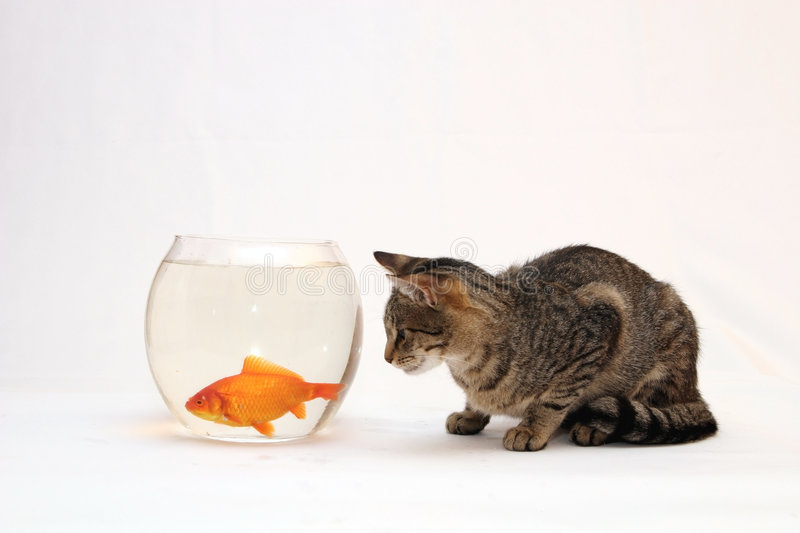 Home Cat And A Gold Fish. Royalty Free Stock Photo