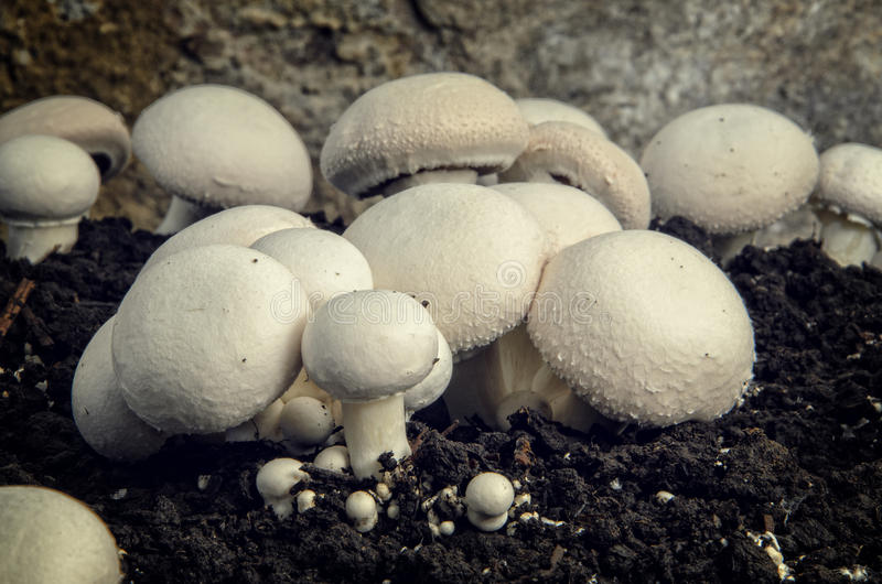 Home cultivation of button mushrooms royalty free stock photo
