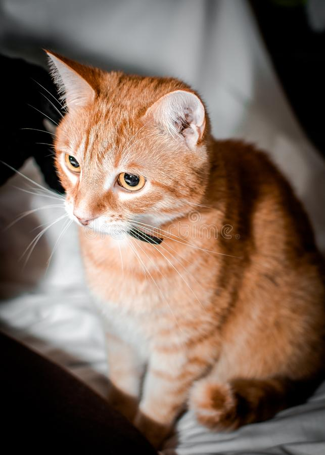 Wise and calm red cat royalty free stock images