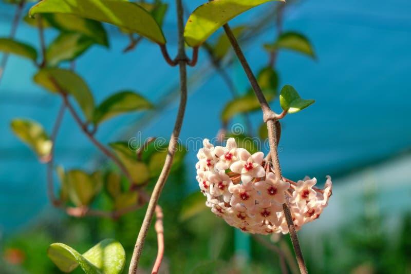 Home flower of Hoya carnosa. Selective focus. Flowers close-up stock photos