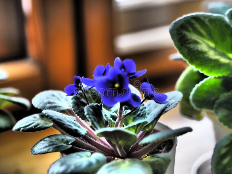 Home flowers. Blue violet with a yellow center in a pot on a background of an ancient wooden background. Wintering. Home flowers. Blue violet with a yellow stock photos