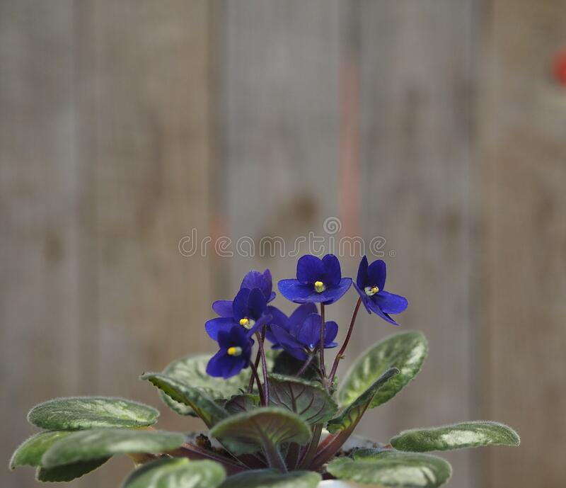 Home flowers. Blue violet with a yellow center in a pot on a background of an ancient wooden background. Wintering. Home flowers. Blue violet with a yellow stock photography