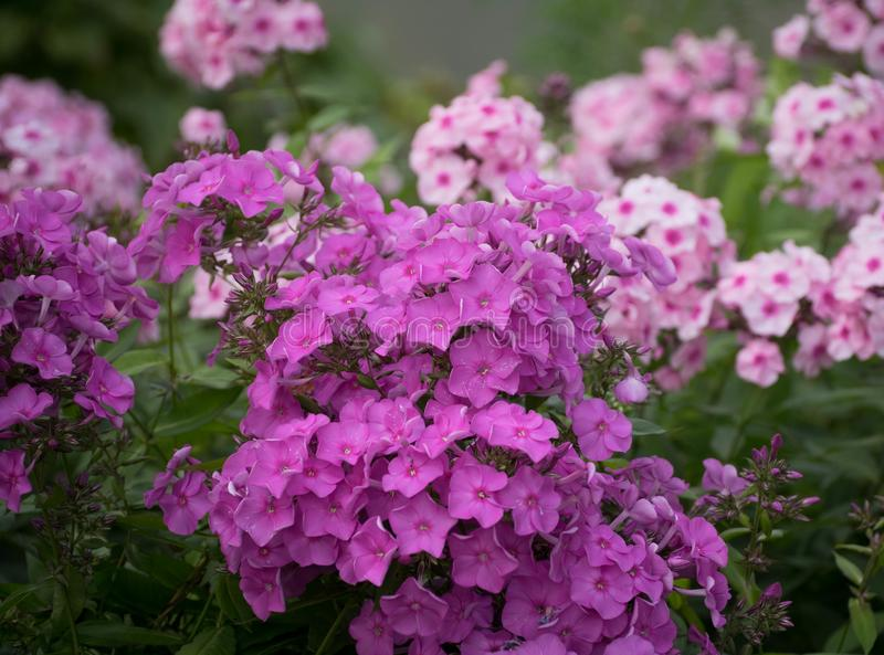 Purple flowers in the summer. royalty free stock image