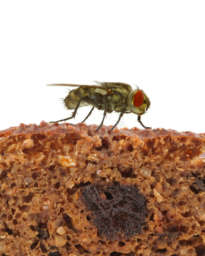Download Home Fly Sitting On Slice Of Bread Stock Image - Image: 1909751