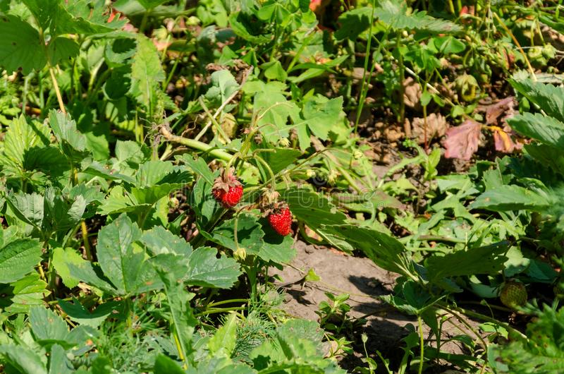 Home garden bed with strawberry bushes stock photo