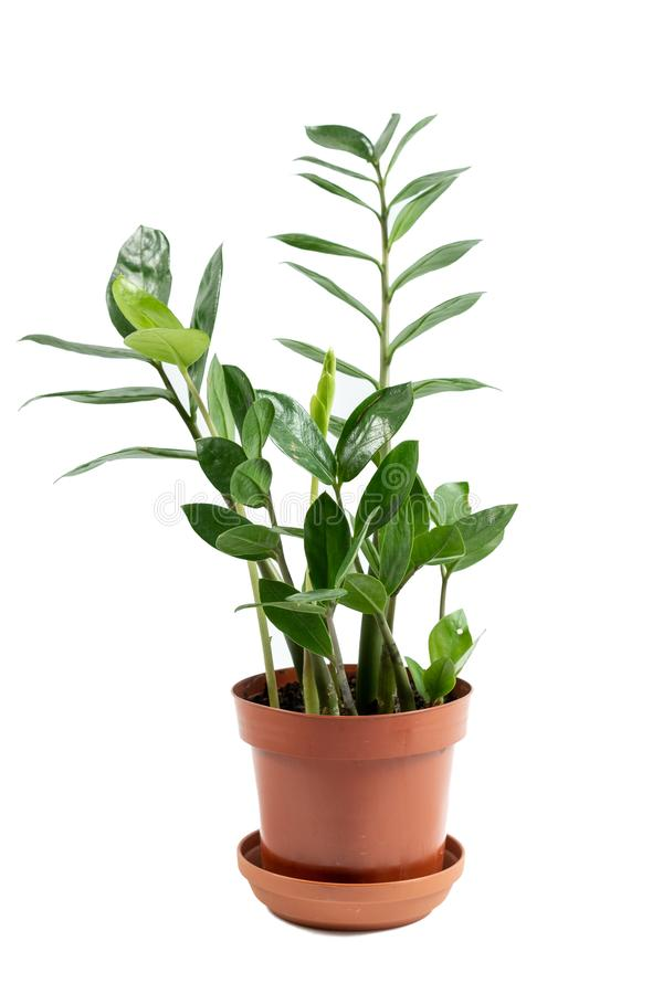 Plant growing in brown flowerpot isolated on white background. Home and garden concept. Vertical photo of small fresh and green plant growing in brown flowerpot stock photography
