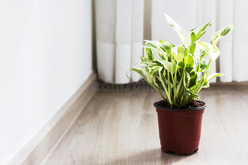 Home and garden decoration of golden pothos in the bedroom. With copy space stock photography
