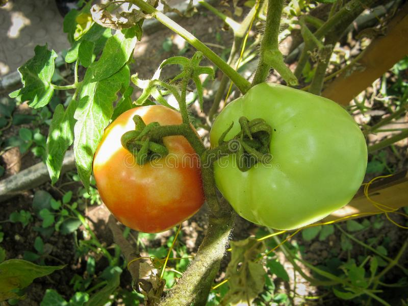 Home Gardening, ripe and unripe tomato on a branch. Ecological natural agriculture without preservatives stock photo