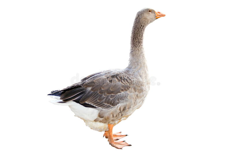 Download Home Goose On A White Background Stock Image - Image: 31894175