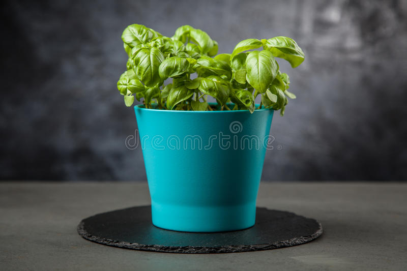 Home grown basil. Home grown fresh basil in a vase royalty free stock photos