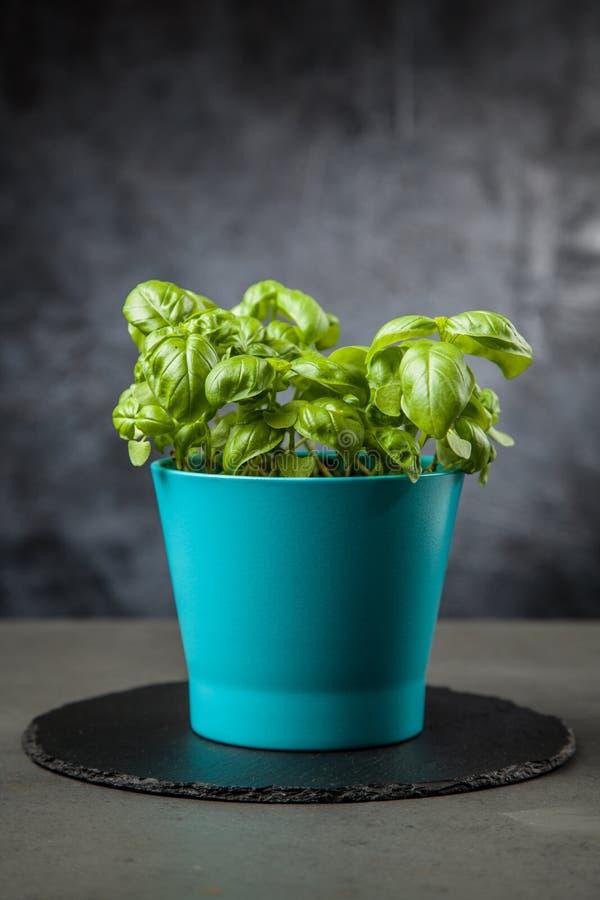 Home grown basil. Home grown fresh basil in a vase stock image