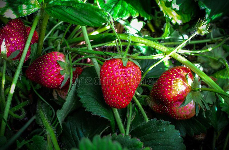 Home grown big strawberries in South africa royalty free stock photography
