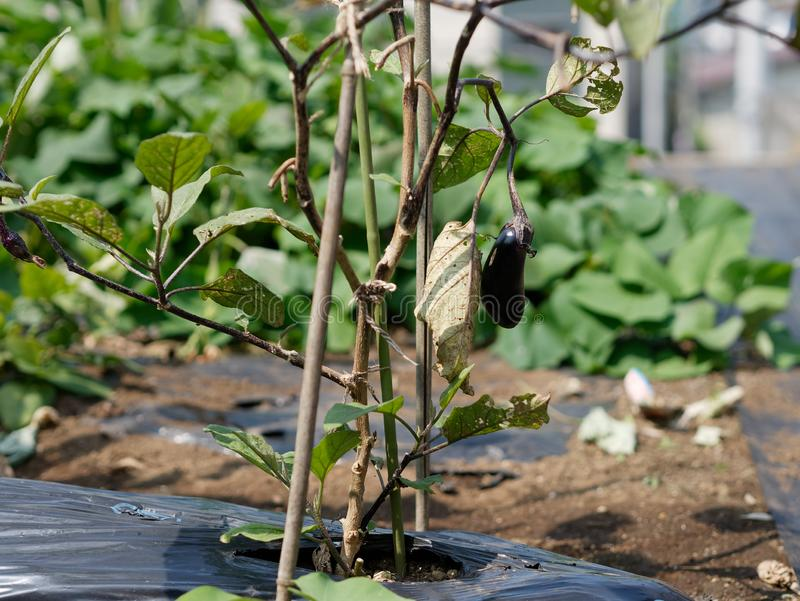 Home grown fresh organic aubergine. Close-up of home grown fresh organic aubergine royalty free stock image