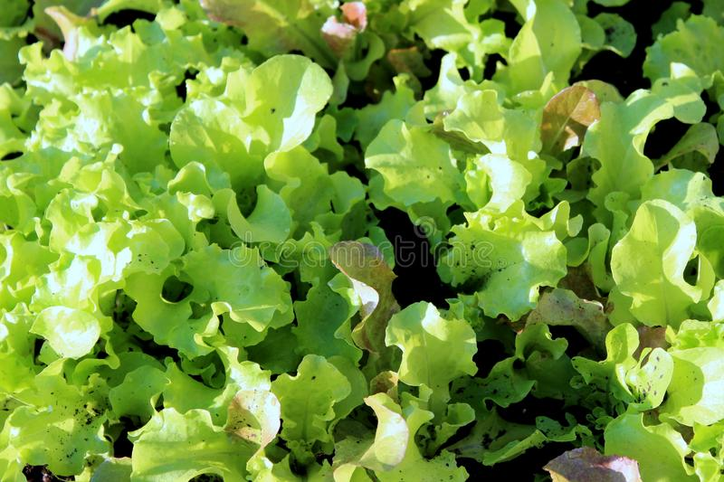 Home grown garden with bed of healthy leaves of lettuce for flavor in dishes. Gardening bed filled with bright green leaves of fresh lettuce chef`s can use for royalty free stock photo