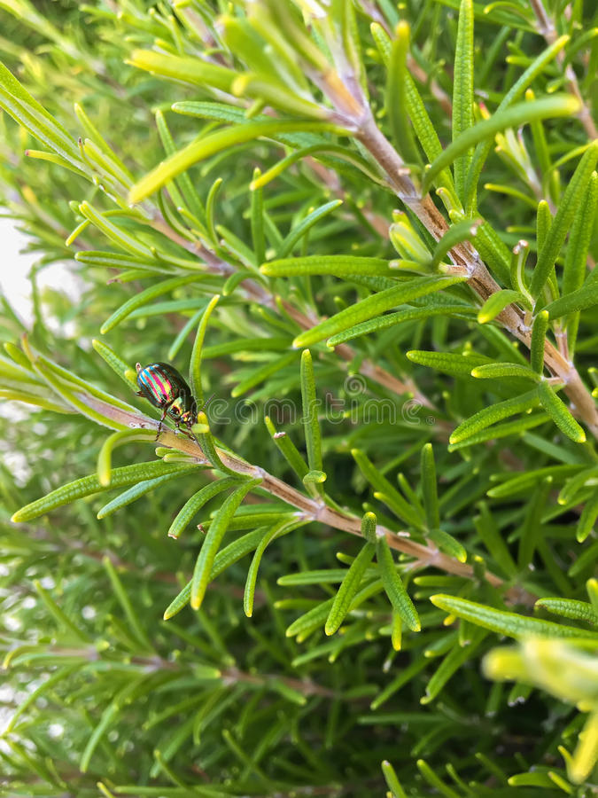 Home grown herb, Rosemary with rosemary beetle Chrysolina ameri stock image